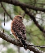 733933_red-tailed_hawk