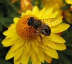 567107_bee_on_the_flower