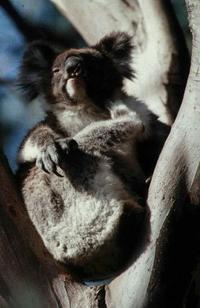 Koalakoala1_2
